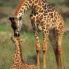 Как сделать жирафа из бисера