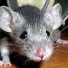 Мышка из бисера