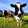 Как сделать корову из бисера