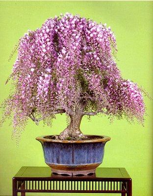 Глициния — красивое дерево с