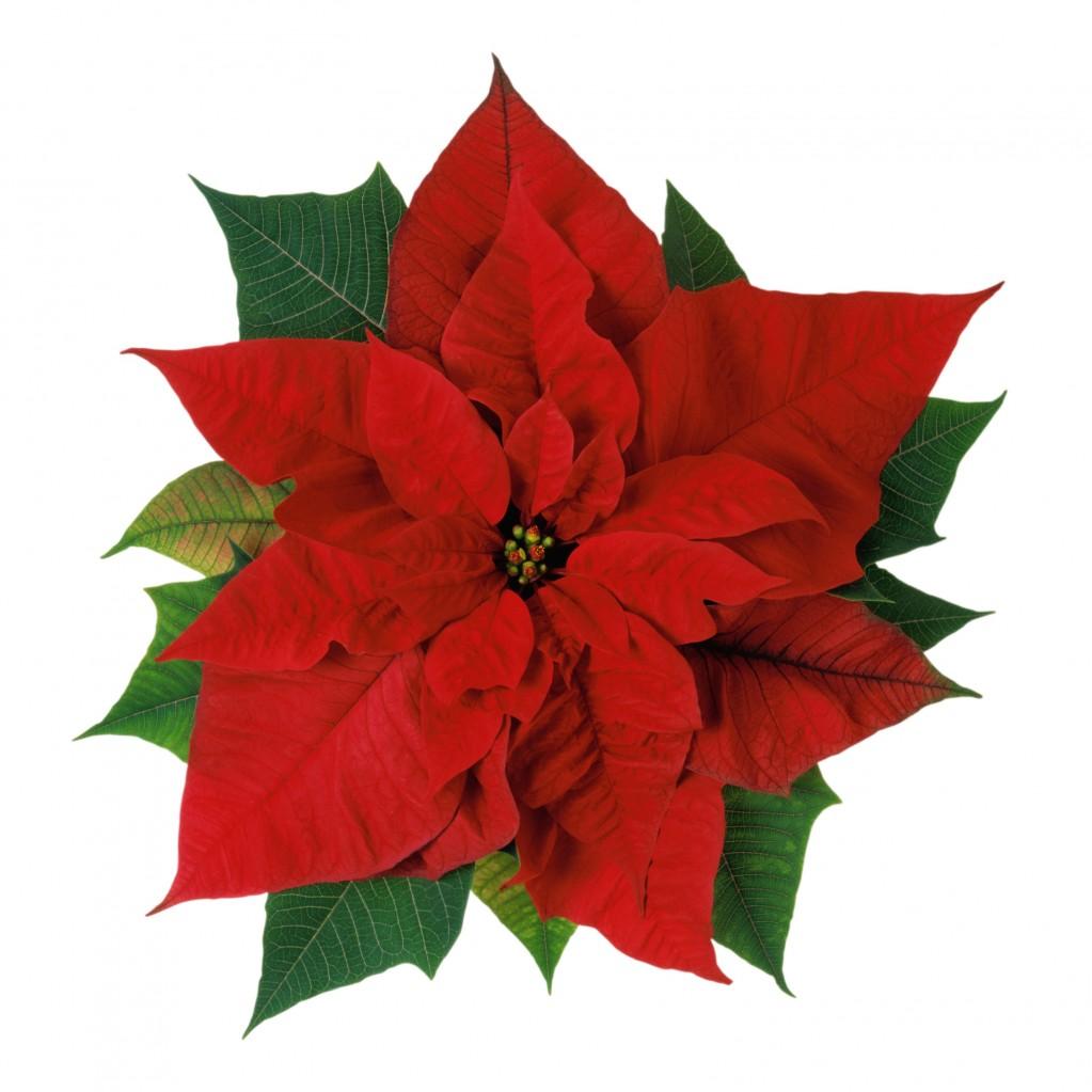 Рождественский цветок картинки 6