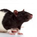 Как сделать крысу из бисера