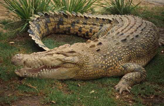 Как сделать крокодила из