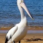 Как сделать объёмную фигурку пеликана из бисера