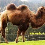 Как сделать верблюда из бисера