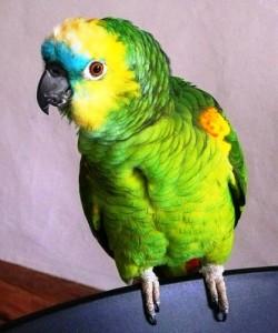 Синелобый ара